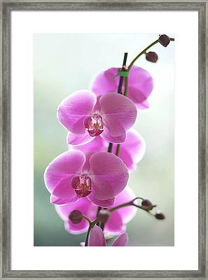 Pink Orchids Framed Print by Kicka Witte - Printscapes
