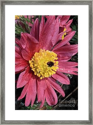 Pink Pasque Flower Framed Print by Carol Groenen