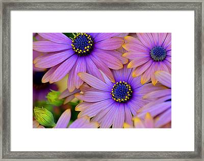 Pink Petals And Blue Buttons Framed Print by Julie Palencia