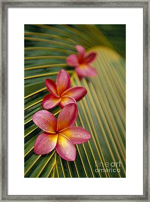 Pink Plumeria Framed Print by Dana Edmunds - Printscapes
