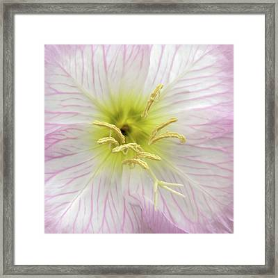 Pink Primrose Macro Square Format Framed Print by Denise Beverly