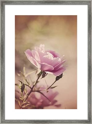 Pink Rose Framed Print by Cindy Grundsten