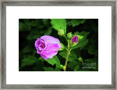 Pink Rose Of Sharon Framed Print by Sharon McConnell