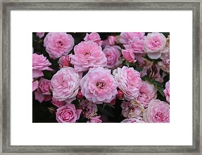 Pink Rose Spray Framed Print by Linda Meyer