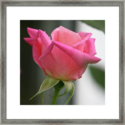 Pink Rose Squared Framed Print by Teresa Mucha