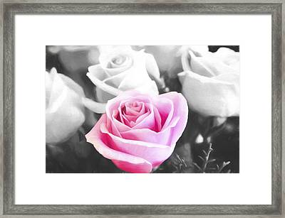 Pink Rose Stand Out Framed Print by Daphne Sampson