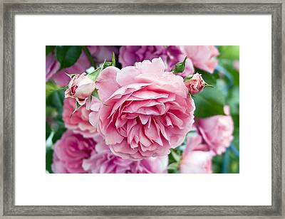 Pink Roses Framed Print by Frank Tschakert