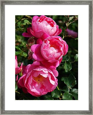 Pink Roses Framed Print by Nicola Butt