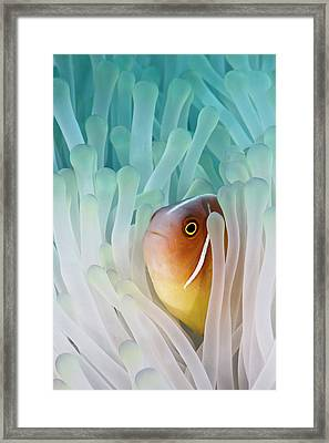 Pink Skunk Clownfish Framed Print by Liquid Kingdom - Kim Yusuf Underwater Photography