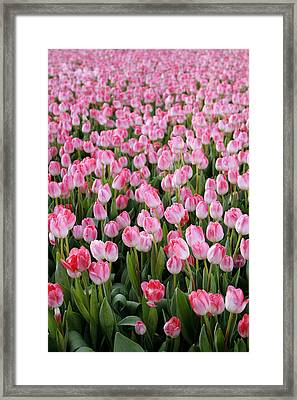 Pink Tulips- Photograph Framed Print by Linda Woods