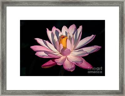 Pink Waterlily Framed Print by Liesl Walsh