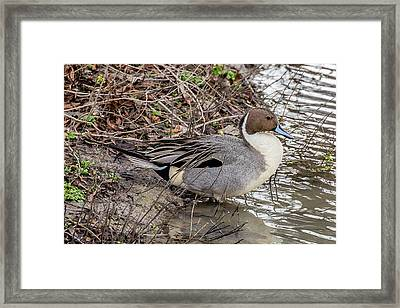 Pintail Framed Print by Michael Parks