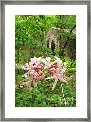 Pinxterbloom Azalea At Bowmans Hill Framed Print by Anna Lisa Yoder