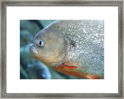 Piranha Tough Guy Framed Print by Carol Groenen