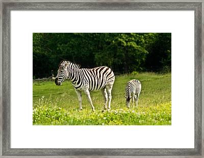Plains Zebra 1 Framed Print by Douglas Barnett