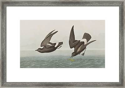 Plate 340 Least Stormy-petrel Framed Print by John James Audubon