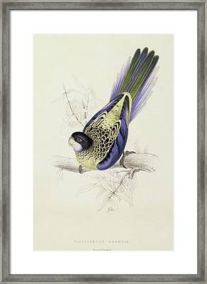 Platycercus Brownii, Or Browns Parakeet Framed Print by Edward Lear