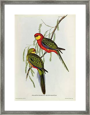 Platycercus Icterotis Framed Print by John Gould