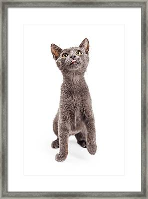 Playful And Hungry Kitten Looking Up Framed Print by Susan Schmitz