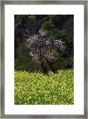 Plue Tree In Mustrad Grass Framed Print by Garry Gay