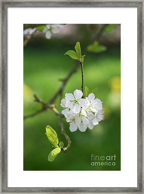 Plum Blossom Framed Print by Tim Gainey