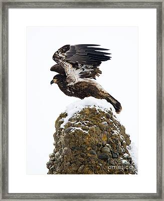 Poised For Flight Framed Print by Mike Dawson