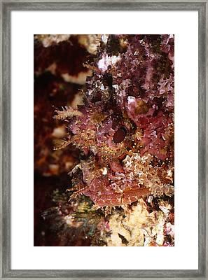 Poisnous Stone Fish, Scorpaena Mystes Framed Print by James Forte