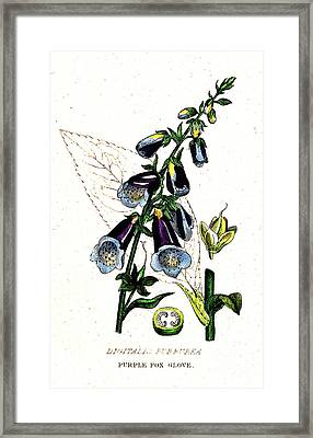 Poisonous Purple Foxglove, Illustration Framed Print by Wellcome Images