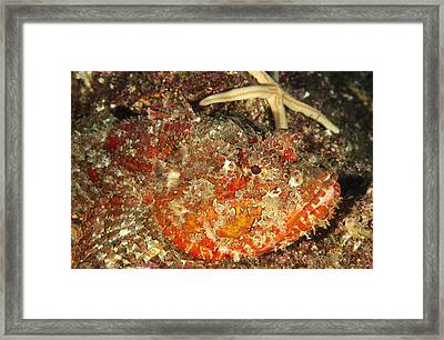 Poisonous Stone Fish, Scorpaena Mystes Framed Print by James Forte