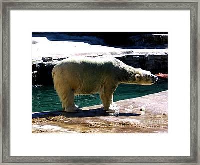Polar Bear 3 Framed Print by Rose Santuci-Sofranko