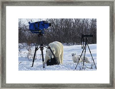 Polar Bear And Cubs With Cameras Framed Print by Jean-Louis Klein & Marie-Luce Hubert
