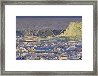 Polar Bear At Sunset Framed Print by Jean-Louis Klein & Marie-Luce Hubert