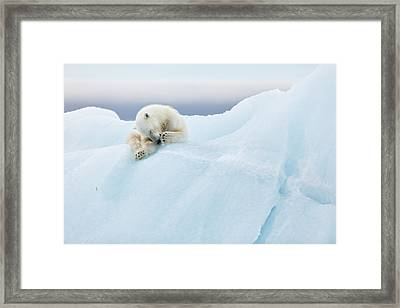Polar Bear Grooming Framed Print by Joan Gil Raga