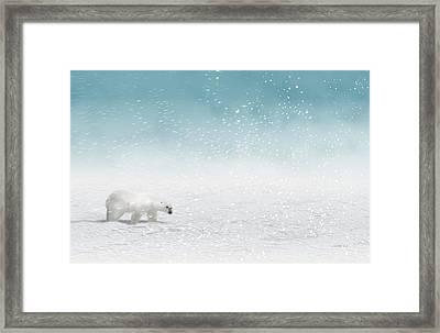 Polar Bear In Snow Framed Print by John Wills
