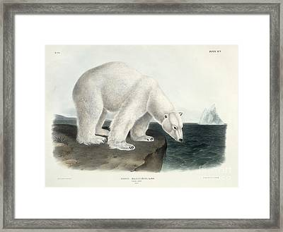 Polar Bear Framed Print by John James Audubon