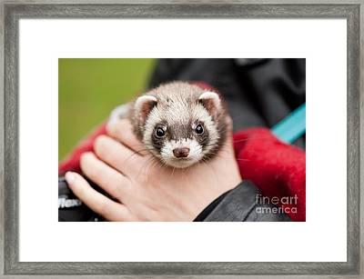 Polecat Ferret Hybrid Face Framed Print by Arletta Cwalina