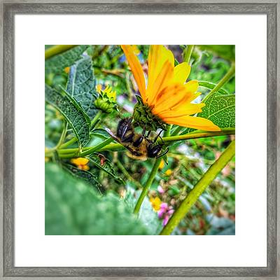 Pollinated Buzz Framed Print by Jame Hayes