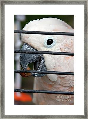 Polly Has A Nutshell Framed Print by Alan Look