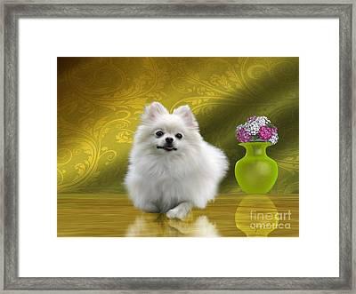 Pomeranian Dog Framed Print by Corey Ford