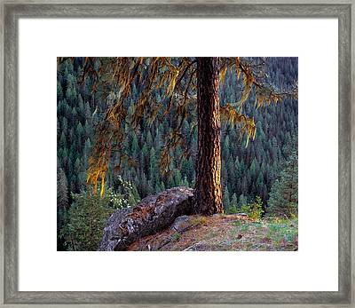 Ponderosa Pine Framed Print by Leland D Howard