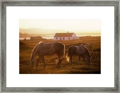 Ponies Grazing In A Field, Connemara Framed Print by The Irish Image Collection