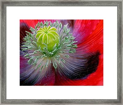 Poppy Framed Print by David April