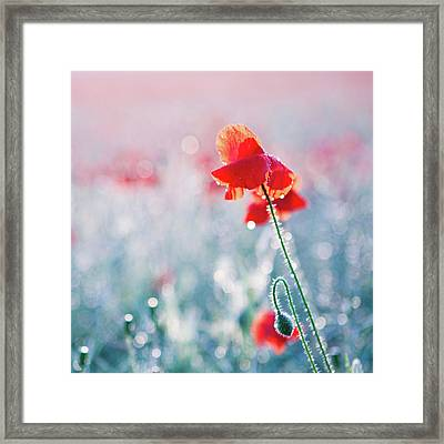 Poppy Field In Flower With Morning Dew Drops Framed Print by Sophie Goldsworthy