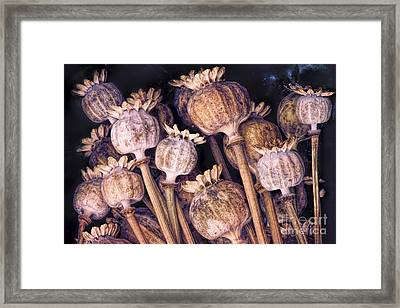 Poppy Pods Framed Print by Tim Gainey