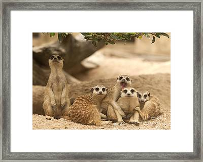 Portrait Group Of Meerkat Framed Print by Anek Suwannaphoom