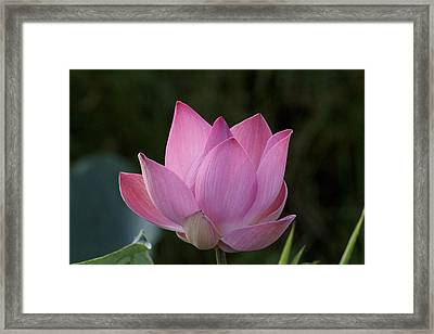 Portrait Of A Beautiful Pink Lotus Framed Print by Eddie Yong