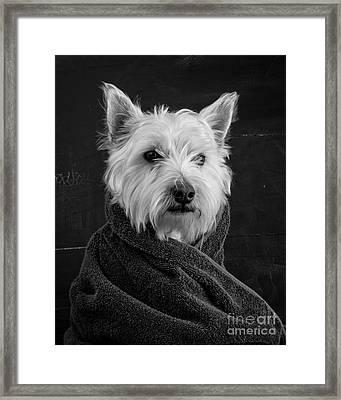 Portrait Of A Westie Dog 8x10 Ratio Framed Print by Edward Fielding