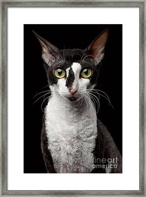 Portrait Of Cornish Rex Looking In Camera Isolated On Black  Framed Print by Sergey Taran