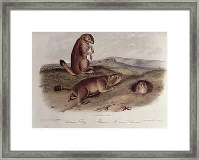 Prairie Dog Framed Print by John James Audubon