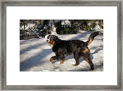 Prancing Bernese Mt Dog Framed Print by Jean Noren